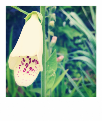 """Welcome to Outerspace. White Foxglove. Cumbria."""