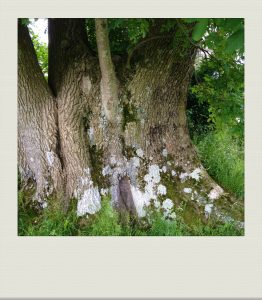 """close up of big, ancient tree trunk in country garden"""