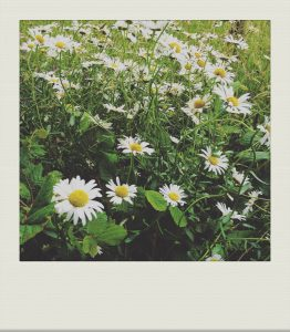 """marguerite daisies in a country garden"""