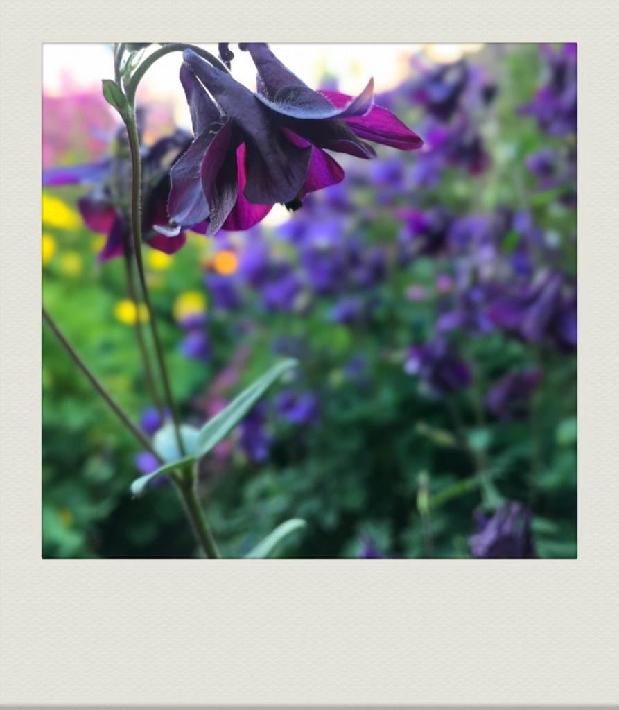 """deep purple aquilegia in our flower garden"""