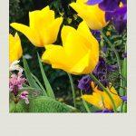 """""""tulips in our flower garden"""""""