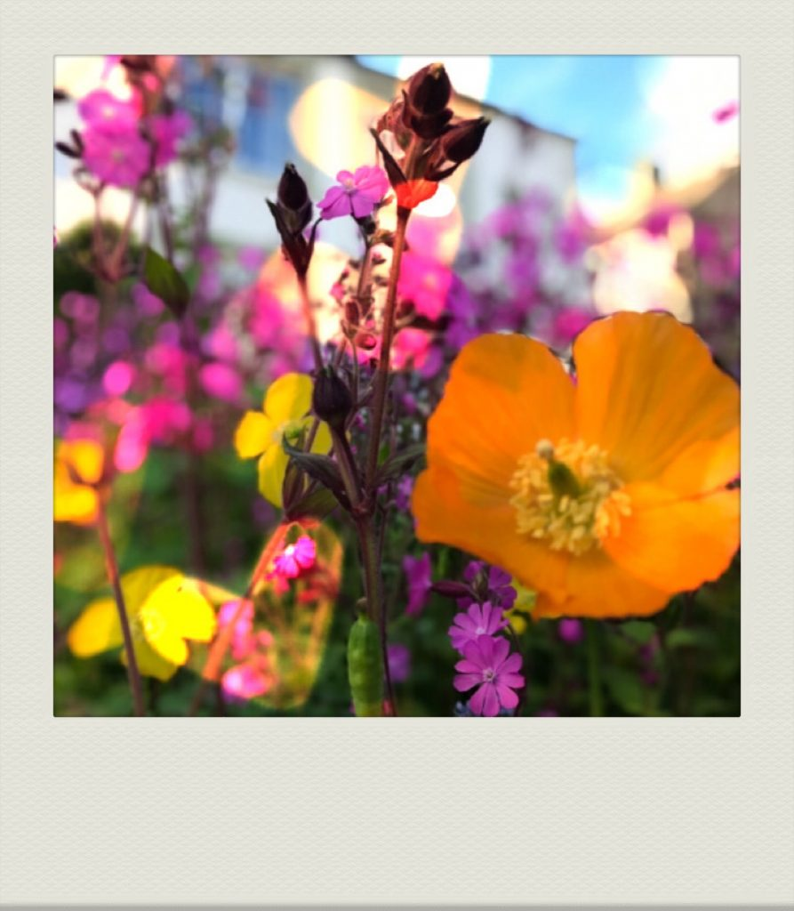 """""""close up of welsh poppies and red campion in our wildflower garden"""""""
